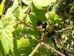 Schwarze Johannisbeere Irinas Sämling  Pflanze