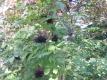 Holunder Haidegg17 Pflanze