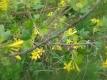 Kanadische Goldjohannisbeere Pflanze