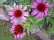 Roter Sonnenhut Ecchinacea purpurea Planze
