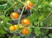 Tomate Golden Currant getopfte Pflanze