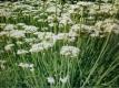 Schnittknoblauch Pflanze