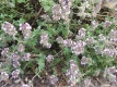 Teppichthymian Pflanze