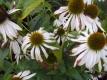 Weißer Sonnenhut White Snow Pflanze