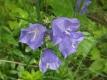 Pfirsichblättrige Glockenblume blau Samen