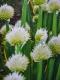 Ewige Zwiebel Pflanze
