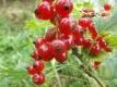 Johannisbeere Heinemanns rote Spätlese Pflanze