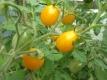 Tomate Yellow Plum Samen