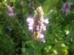 Heilziest Stachys officinalis Samen