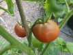 Tomate Nyagous Samen