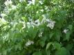 Flieder Weißer Syringia vulgaris Pflanze