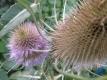 Weberkarde Kardendistel Dipsacus sativus Pflanze