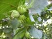 Haselnuss Corylus avellana Pflanze