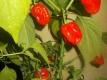 Chili 7 Pot SR-Strain Capsicum chinense Samen