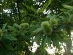 Esskastanie(Castanea sativa) Samen