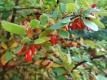 Echte Berberitze (Berberis vulgaris) Samen