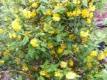 Ranunkelstrauch Pleniflora Pflanze