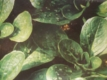 Feldsalat Verte de Chabrai Samen