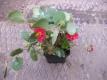 Erdbeere Rote Karlsbaderin Pflanze