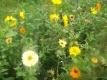 Ringelblume Calendula officinalis Samen