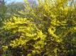 Forsythie Forsythia intermedia 10 unbewurzelte Stecklinge