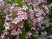 Kolkwitzie-Perlmuttstrauch Kolkwitzia amabilis unbewurzelter Steckling
