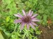 Haferwurzel Tragopogon porrifolius Pflanze
