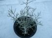 Currykraut Helichrysum italicum Samen