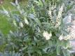Kirschlorbeer Herbergii Pflanze