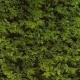 Bruchkraut Herniaria glabra Samen