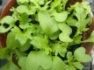 Asia Gemüse Wasabino Samen