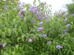 Persischer Flieder Pflanze