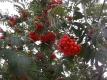 Edeleberesche Pflanze