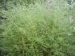 Zierspargel ausdauernd Pflanze