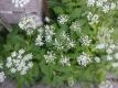 Giersch Aegopodium podagraria Pflanze