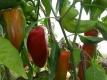 Jumbopeperoni Pflanze