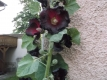 Schwarze Malve Alcea rosea Nigra Pflanze