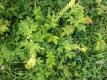Kleiner Odermennig Agrimonia eupatoria Pflanze