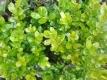 Buchsbaum Pflanze