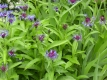 Kornblume blau Pflanze