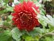 Chrysantheme,rot,großblumig,gefüllt 6 bewurzelte Stecklinge