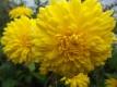 Chrysantheme,gelb,großblumig,gefüllt 6 bewurzelte Stecklinge