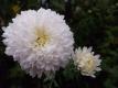 Chrysantheme,weiss,großblumig,gefüllt 6 bewurzelte Stecklinge