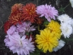Chrysantheme,rot,gelb,weiss,rosa,bronze großblumig,gefüllt 50 bewurzelte Stecklinge