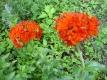Brennende Liebe Lychnis chalcedonica Pflanze
