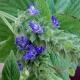 Chia Salvia hispanica Pflanze