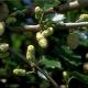 Weiße Maulbeere Pflanze