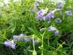 Baikalhelmkraut Huang Qin Pflanze