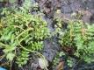 Sedanina Pflanze
