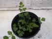 Erdkastanie Oenanthe silaifolia Pflanze